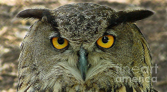 Gary Gingrich Galleries - Great Horned Owl-02207