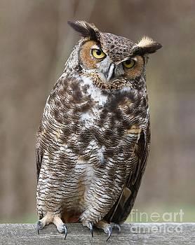 Great Horned Owl 3 by Chris Scroggins