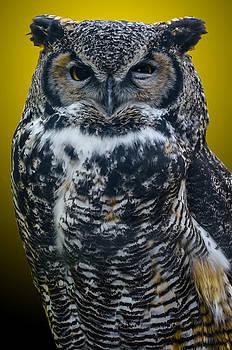 Great Horned Owl  by Brian Stevens