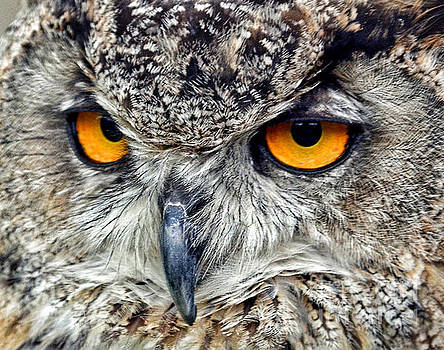 Great Horned Owl Closeup by Jim Fitzpatrick