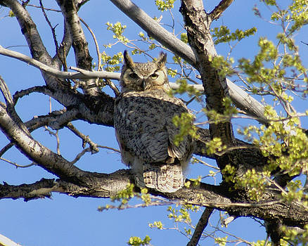 Great Horned Owl by D Winston