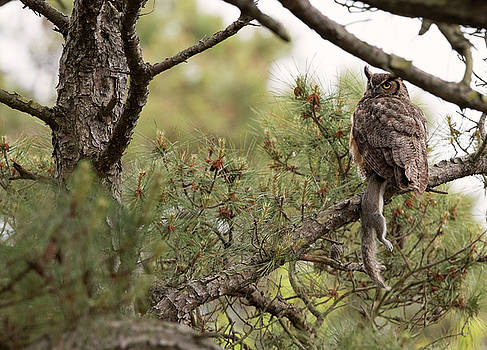 Great Horned Owl by Dennis Clark