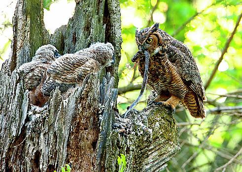 Great Horned Owl Feeding Black Rat Snake to babies by Donna Caplinger