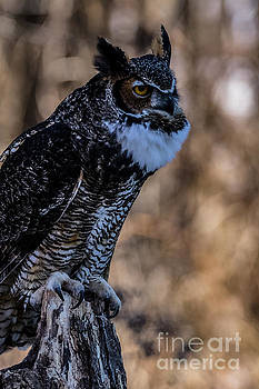 Great Horned Owl Giving a Hoot by CJ Park