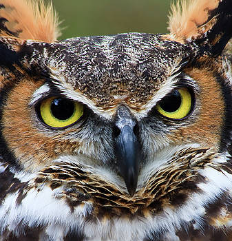 Jill Lang - Great Horned Owl Head Shot