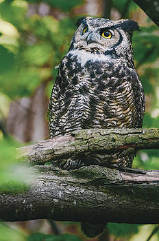 Great Horned Owl by Ian Harland