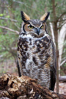 Jill Lang - Great Horned Owl in the Woods