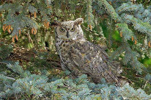 James Steele - Great Horned Owl