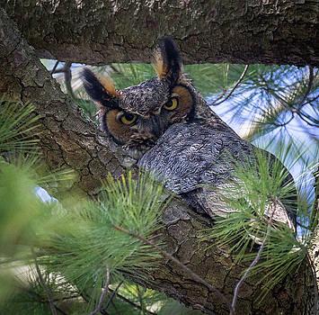 Great Horned Owl by Jim Gillen