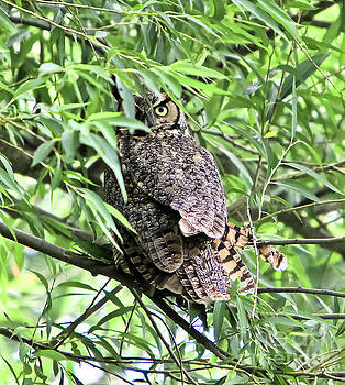 Great Horned Owl Looking at You by Ricky L Jones
