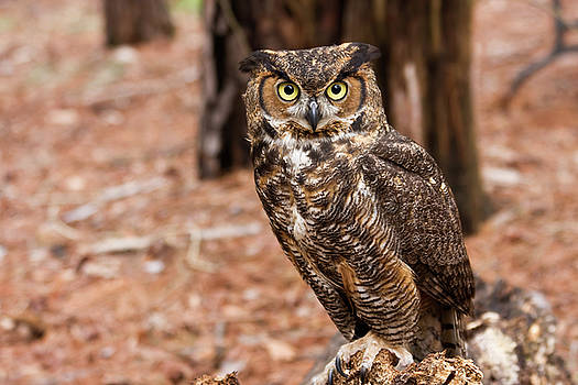 Jill Lang - Great Horned Owl on a Log