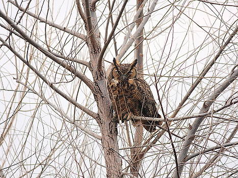 Wingsdomain Art and Photography - Great Horned Owl on Tree