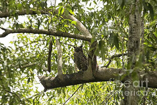 Patricia Hofmeester - Great Horned owl