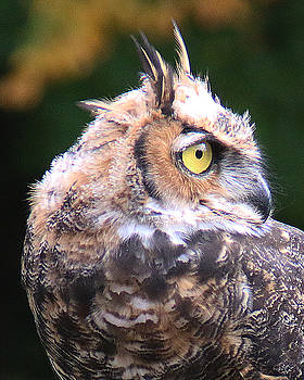 Great Horned Owl Portrait by William Selander
