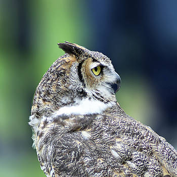 Great Horned Owl Profile by Kathy Kelly