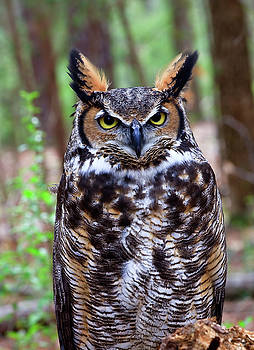 Jill Lang - Great Horned Owl Standing