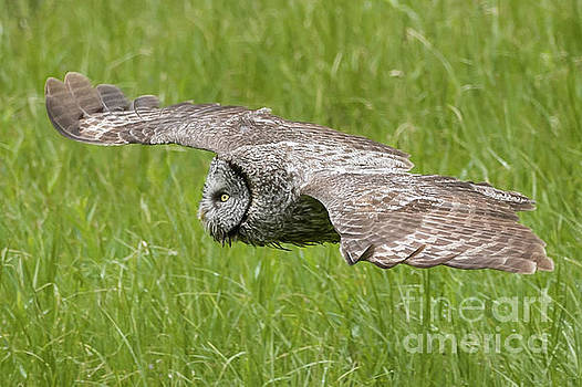 Tibor Vari - Great Grey Owl