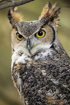 Great Horned Owl by Wesley Aston