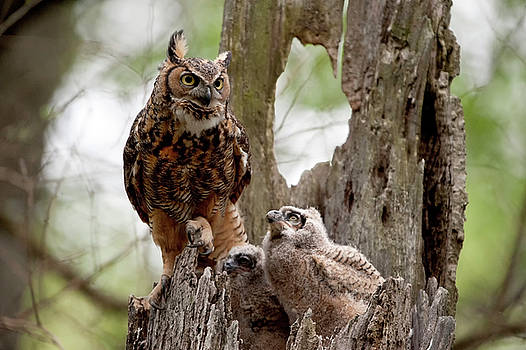 Great Horned Owl with Babies by Donna Caplinger