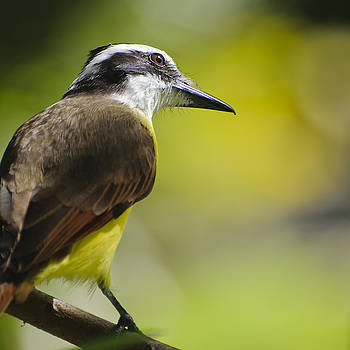 Christine Kapler - Great Kiskadee