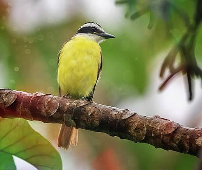 Great Kiskadee Costa Rica by Joan Carroll