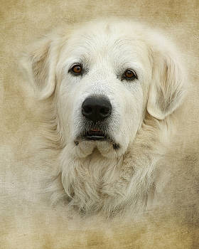 Great Pyrenees Portrait by TnBackroadsPhotos