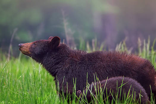 Great Smoky Mountain National Park - Black Bear and cub by Jason Penland