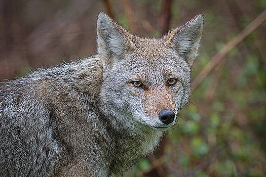 Great Smoky Mountain National Park - Morning Coyote  by Jason Penland