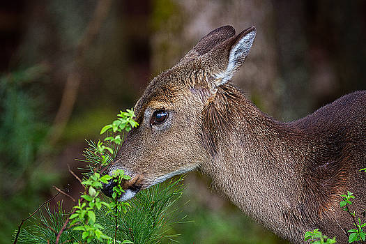 Great Smoky Mountains National Park - Whitetail Doe  by Jason Penland