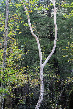 Great Smoky Mountains - White Sycamore Trunk by Natalie Schorr