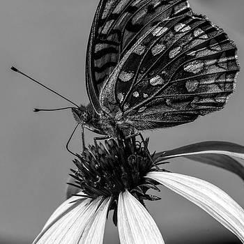 Great spangled fritillary Black and white by Bob Orsillo