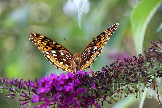Great Spangled Fritillary Butterfly by Wendy Coulson