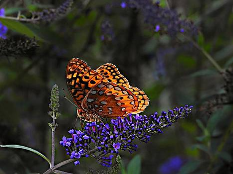 Great Spangled Fritillary Butterfly by William Tanneberger