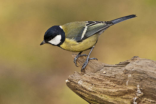Great Tit by Andy Beattie Photography
