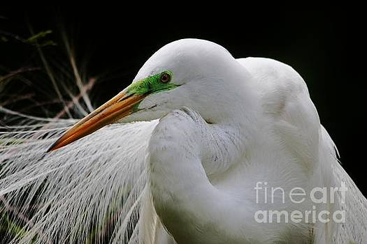 Paulette Thomas - Great White Egret Breeding