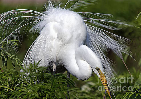 Great White Egret Displaying Plumage by Mary Lou Chmura