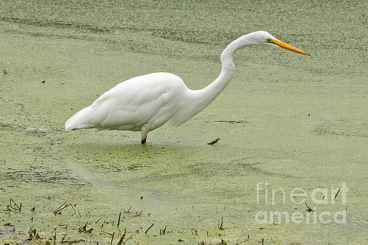 Great White Egret Fishing by Natural Focal Point Photography