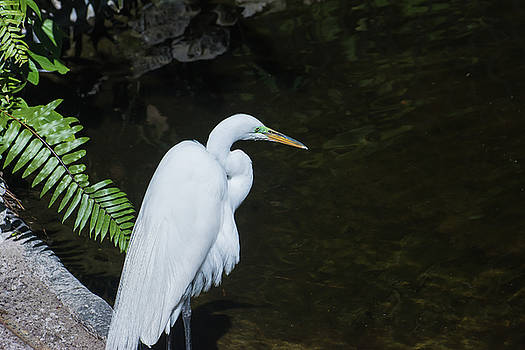 Great White Egret by Gene Norris