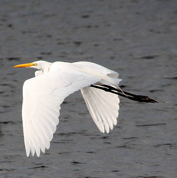 Great White Egret in Flight by Laurel Talabere