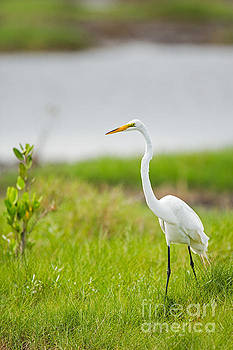 Great White Egret In Florida by Natural Focal Point Photography