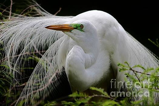 Paulette Thomas - Great White Egret in Thought