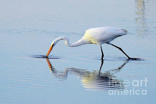 Great White Egret - The Catch by Scott Cameron