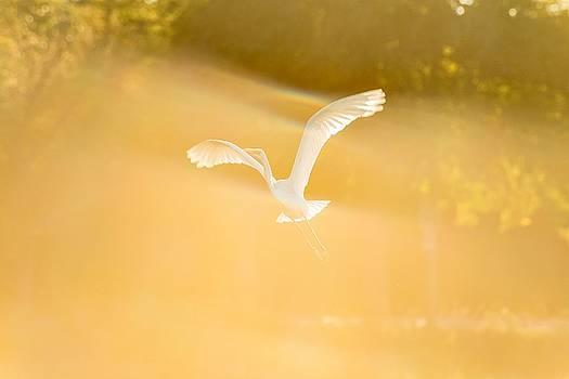 Great White Heron 2 by Tim Sullivan