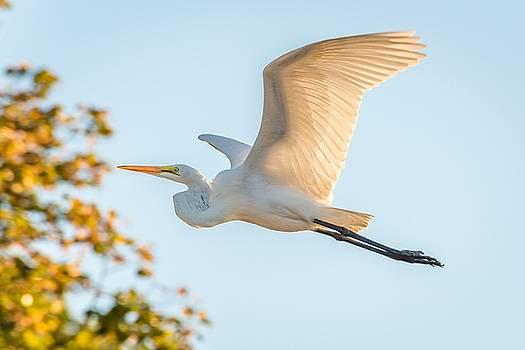 Great White Heron 3 by Tim Sullivan