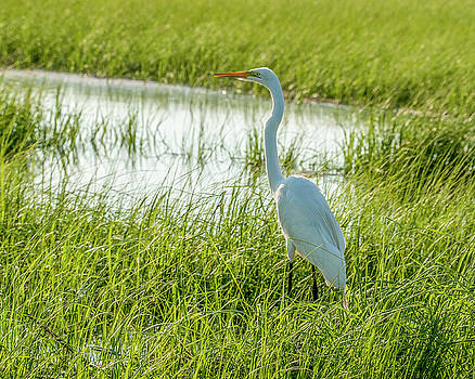 Great White Heron by Cathy Kovarik