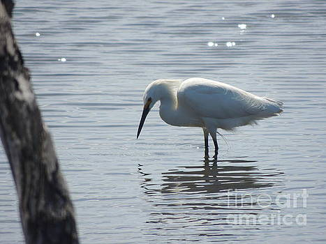 Great White Heron by Robert Ball
