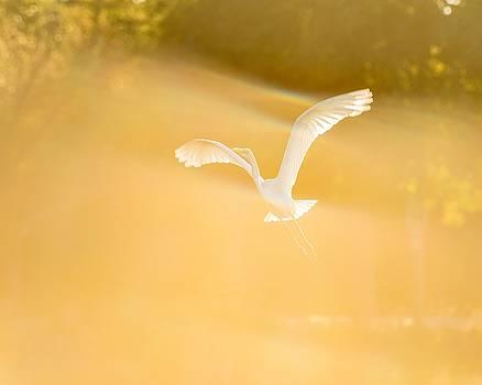 Great White Heron by Tim Sullivan