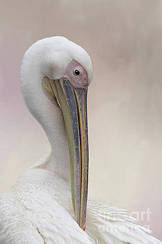 Great White Pelican #2 by Judy Whitton