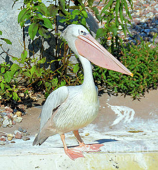 Great White Pelican by Elaine Manley