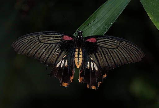 Great Yellow Mormon Butterfly  by Ruth Jolly